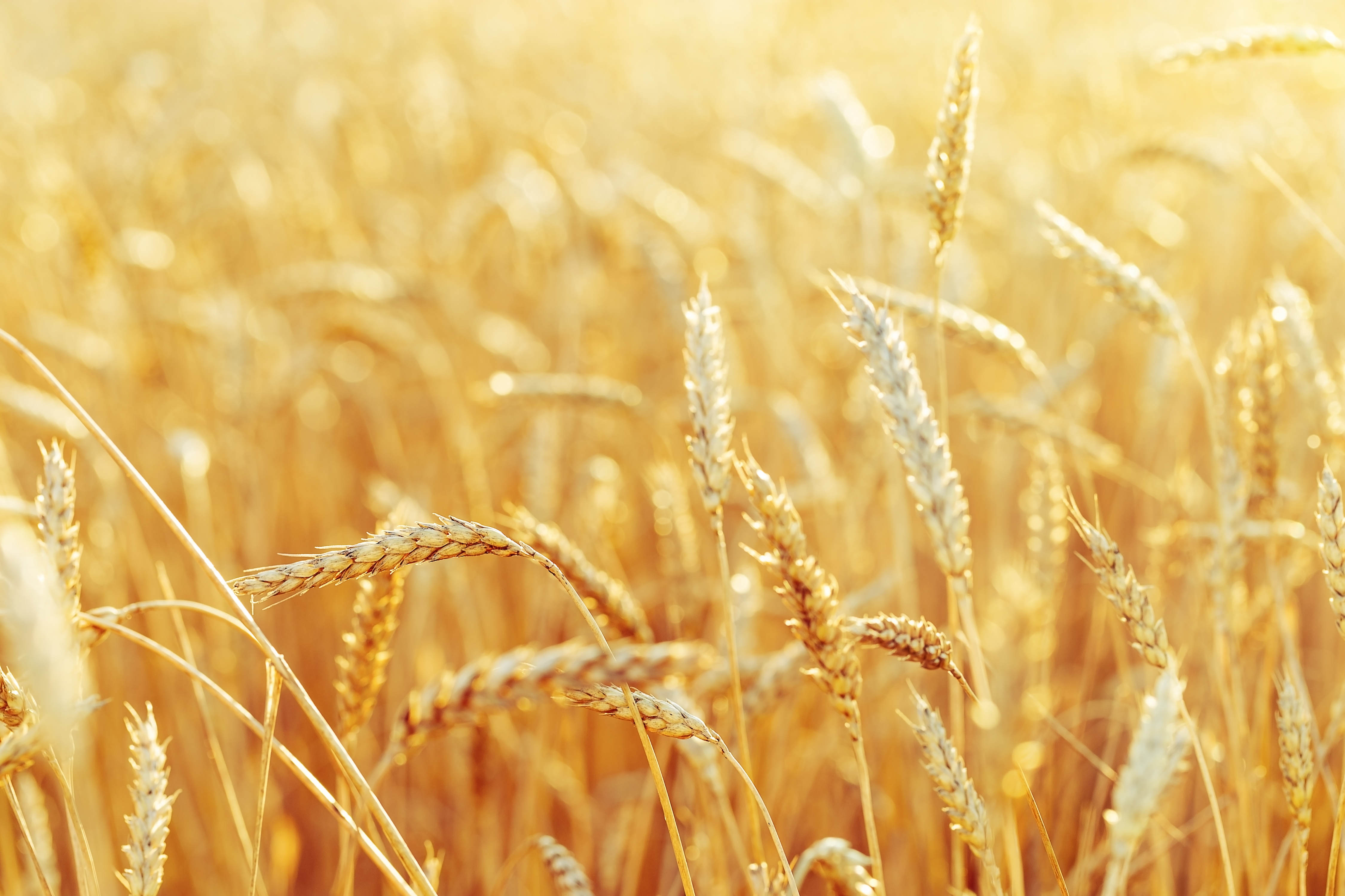 Rural,Scenery.,Background,Of,Ripening,Ears,Of,Wheat,Field,And